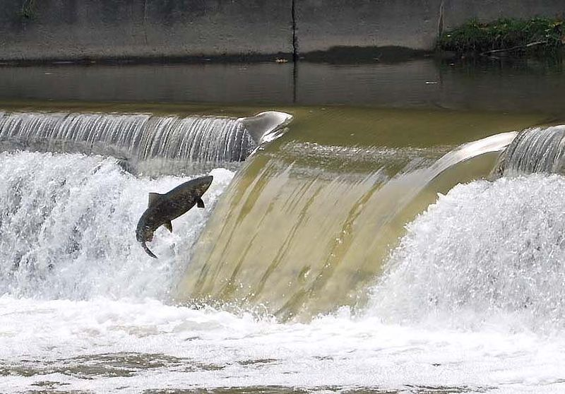 800px-JUMP_SALMON_SPECTACLE